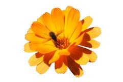 De bij en de bloem van de honing Stock Foto