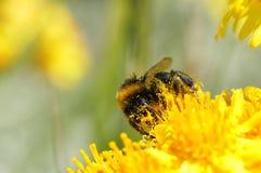 De bij en het stuifmeel van de honing Stock Foto's