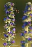 De bij en stuntelt bij bij de blauwe bloei stock afbeelding
