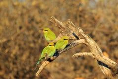 De bij-eter, slikt de steel verwijderde van - Afrikaanse Wilde Vogelachtergrond - Kleurrijke Vrienden Stock Afbeeldingen