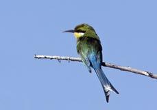 De bij-Eter van Swallowtailed royalty-vrije stock foto