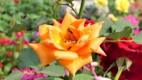 De bij houdt stuifmeel van oranje roze bloem stock videobeelden