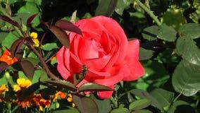 De bij komt op het rood aan toenam in de Botanische tuin stock video