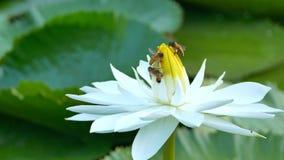 De bij in lotusbloem en Bijengroep het werken vindt stuifmeel op lotusbloem in de dag bij de ochtend stock video