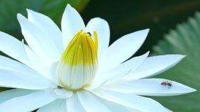 De bij in lotusbloem en Bijengroep het werken vindt stuifmeel op lotusbloem in de dag bij de ochtend stock videobeelden