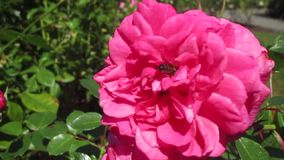 De bij met heldere roze nam bloem in Stanley Park, Vancouver 2017 toe stock videobeelden