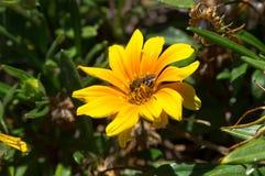 De bij op de gele bloem Stock Fotografie