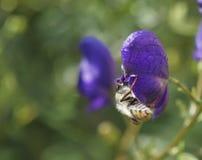 De bij op een blauwe bloem. Stock Afbeeldingen