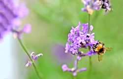 De bij op de purpere bloem stock afbeelding