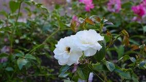 De bij op witte bloem verzamelt de nectar van de honingsappel Close-up stock videobeelden