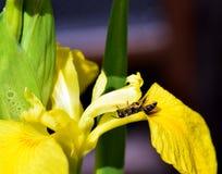 De bij van de bladsnijder op een geel lis Royalty-vrije Stock Afbeeldingen