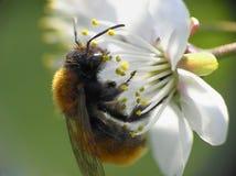 De bij van de close-up op bloem Royalty-vrije Stock Afbeeldingen