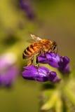De Bij van de honing Stock Afbeeldingen