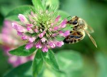 De Bij van de honing stock afbeelding