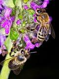 De bij van de honing Royalty-vrije Stock Foto