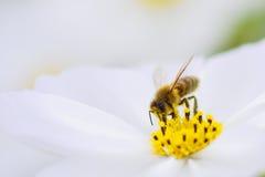 De bij van de honing Royalty-vrije Stock Afbeeldingen