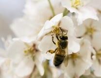 De Bij van de honing Stock Fotografie