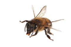 De bij van de honing Stock Foto