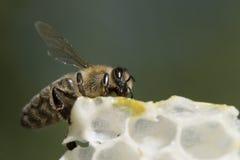 De Bij van de honing Stock Foto's