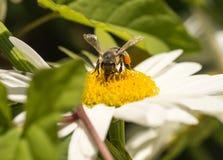 De bij van de honing het bestuiven bloem Royalty-vrije Stock Foto
