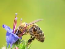 De bij van de honing in het werk stock afbeelding