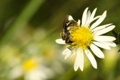 De Bij van de honing (mellifera Apis) Stock Afbeeldingen