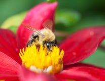 De bij van de honing (mellifera Apis) op dahliabloem Stock Foto's
