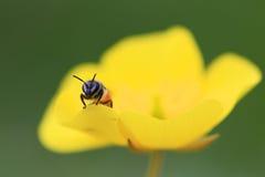 De Bij van de honing op bloem royalty-vrije stock fotografie