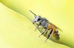 De Bij van de honing op bloem Stock Foto's