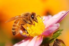 De Bij van de honing op bloem Stock Fotografie