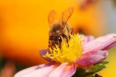 De Bij van de honing op bloem Royalty-vrije Stock Foto's