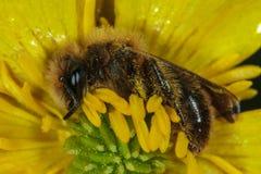 De Bij van de honing op Gele Bloem royalty-vrije stock afbeeldingen