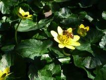 De Bij van de honing op Gele Bloem Stock Afbeelding