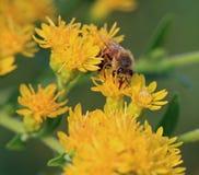 De bij van de honing op het werk Stock Foto