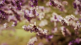 De Bij van de honing op Lavendel Stock Afbeeldingen