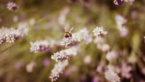 De Bij van de honing op Lavendel Royalty-vrije Stock Foto's