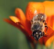 De bij van de honing op oranje bloem Royalty-vrije Stock Foto's
