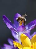 De bij van de honing verzamelt stuifmeel. Stock Foto's