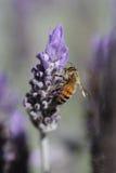 De bij van de lavendel Stock Fotografie