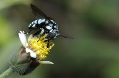 De Bij van de neonkoekoek, Bij eet honingdauw op een gele bloem Royalty-vrije Stock Foto