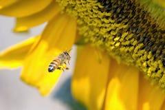 De Bij van zonnebloemen Stock Foto