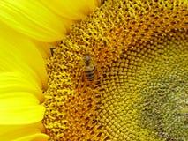 De Bij van zonnebloemen Stock Fotografie