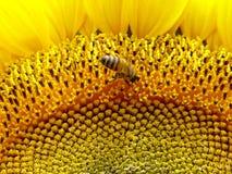 De Bij van zonnebloemen Stock Foto's