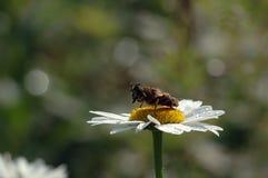 De bij verzamelt honing stock afbeeldingen