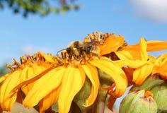 De bij verzamelt honing Royalty-vrije Stock Foto's