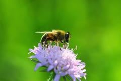 De bij verzamelt honing Stock Foto's