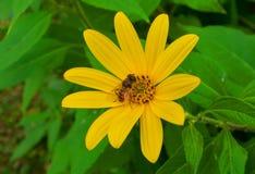 De bij verzamelt honing op een gele bloem van de artisjok van Jeruzalem stock fotografie