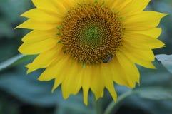 De bij verzamelt honing op de zonnebloem royalty-vrije stock fotografie