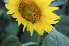 De bij verzamelt honing op de zonnebloem stock foto's