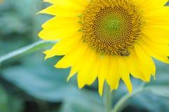 De bij verzamelt honing op de zonnebloem Sunlower op het gebied royalty-vrije stock afbeelding